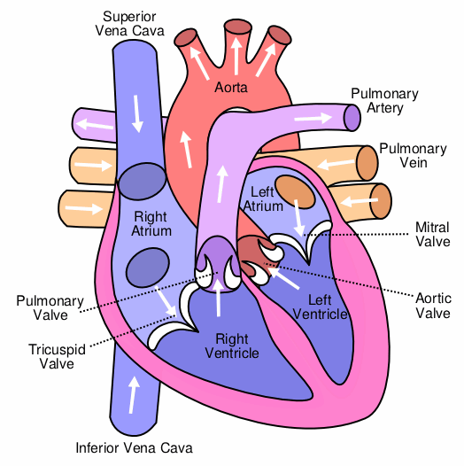 Labelled diagram of the heart
